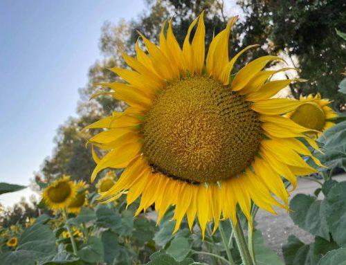 Sunflowers and Sunbeams